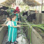 Serunya Kelompok B TK Islam PB Soedirman Belajar di Taman Ternak Sapi Perah, Ada yang Tarik Menarik Sama Sapi